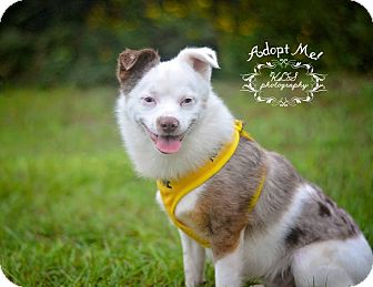 Australian Shepherd/Chihuahua Mix Dog for adoption in Fort Valley, Georgia - Little Man
