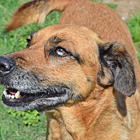 Catahoula Leopard Dog/Shepherd (Unknown Type) Mix Dog for adoption in Iola, Texas - Flash