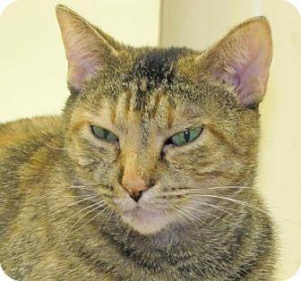 Domestic Shorthair Cat for adoption in Woodstock, Illinois - Iris