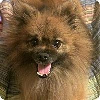 Adopt A Pet :: Yoda - conroe, TX