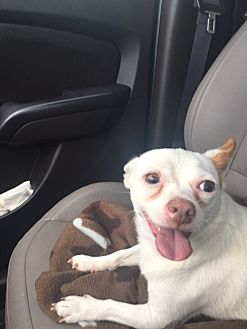 Chihuahua Mix Dog for adoption in Ardmore, Oklahoma - Rowdy