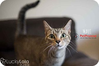 Domestic Shorthair Cat for adoption in Columbus, Ohio - Maui
