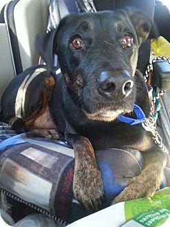 Labrador Retriever/Shepherd (Unknown Type) Mix Dog for adoption in Pompton Lakes, New Jersey - romeo