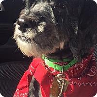 Miniature Schnauzer/Cocker Spaniel Mix Dog for adoption in Sharonville, Ohio - Jake~ADOPTION PENDING