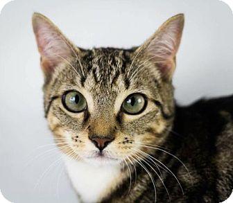 Domestic Shorthair Cat for adoption in Fort Lauderdale, Florida - Tator Tot