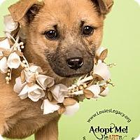 Adopt A Pet :: Austyn - Cincinnati, OH