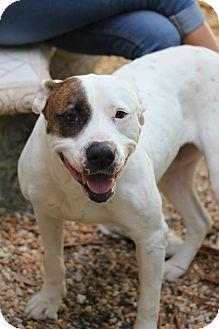 American Bulldog Mix Dog for adoption in Ft. Lauderdale, Florida - Trixie Madison
