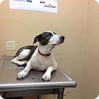 Adopt A Pet :: Incredible Indy Garcia - Brooklyn, NY