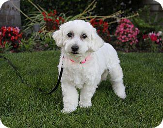 Bichon Frise Mix Dog for adoption in Newport Beach, California - CINDY
