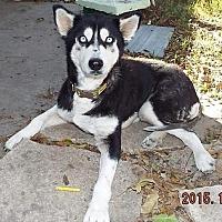 Adopt A Pet :: Muneca 'Doll' - San Antonio, TX