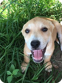 Pit Bull Terrier/Great Pyrenees Mix Puppy for adoption in Waggaman, Louisiana - Nala