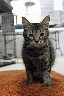 Domestic Shorthair Cat for adoption in Jefferson, Texas - Pudding