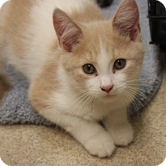 Domestic Shorthair Kitten for adoption in Naperville, Illinois - Malcolm