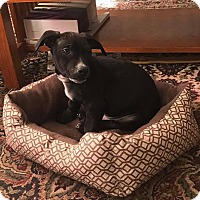 Adopt A Pet :: Amyas - New Milford, CT