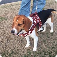 Adopt A Pet :: Boomer - Williamsburg, VA