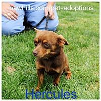 Adopt A Pet :: Hercules - Agoura Hills, CA