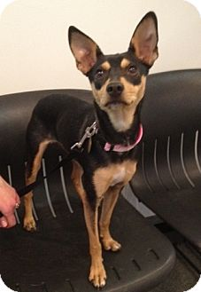 Miniature Pinscher Mix Dog for adoption in Richmond, Virginia - Tipsy