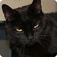 Domestic Shorthair Cat for adoption in Saranac Lake, New York - Kitty Spook