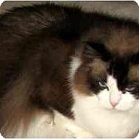 Adopt A Pet :: Cheeks - Keizer, OR