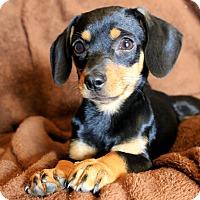Adopt A Pet :: Zoey - Fountain, CO
