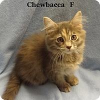 Adopt A Pet :: Chewbacca - Bentonville, AR