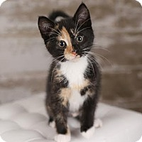 Adopt A Pet :: Cheddar - Eagan, MN