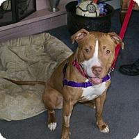 Adopt A Pet :: Sugar - Framingham, MA