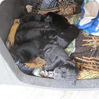 Adopt A Pet :: Braden - New palestine, IN