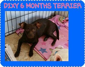 Terrier (Unknown Type, Small)/Labrador Retriever Mix Dog for adoption in temecula, California - dixy