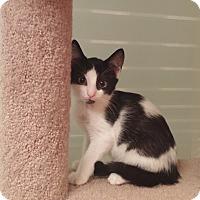 Adopt A Pet :: PPBAWC BW Male - Manasquan, NJ