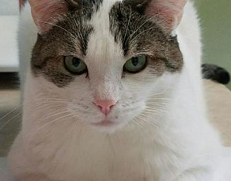 Domestic Shorthair Cat for adoption in Auburn, California - Calista