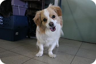 Corgi/Sheltie, Shetland Sheepdog Mix Dog for adoption in Grand Rapids, Michigan - Charlie