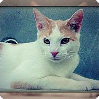 Adopt A Pet :: Cuddles - Laconia, IN