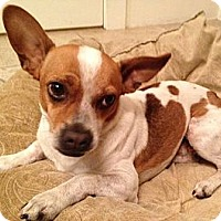 Adopt A Pet :: Valentino - Scottsdale, AZ