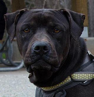 Labrador Retriever Mix Dog for adoption in Midlothian, Virginia - Ralphie