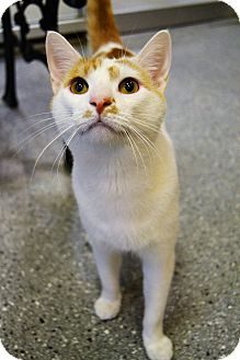 Domestic Shorthair Cat for adoption in Michigan City, Indiana - Fred