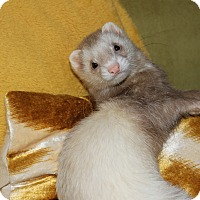 Ferret for adoption in Chantilly, Virginia - Tonks