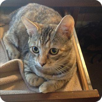 Domestic Mediumhair Kitten for adoption in Modesto, California - Cassidy