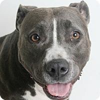 Adopt A Pet :: Sia - Redding, CA