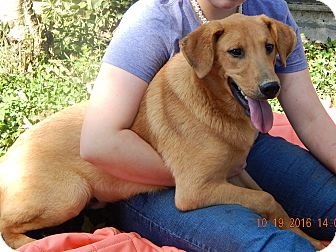 Golden Retriever/German Shepherd Dog Mix Puppy for adoption in West Sand Lake, New York - Hank (60 lb) Video!