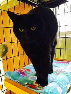 Domestic Shorthair Cat for adoption in Holland, Michigan - Kit Kat