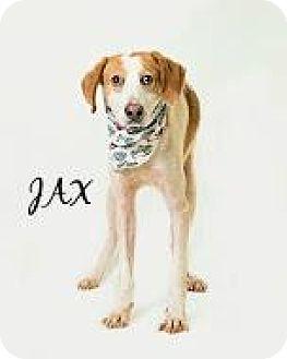 Hound (Unknown Type) Mix Dog for adoption in Voorhees, New Jersey - Jax