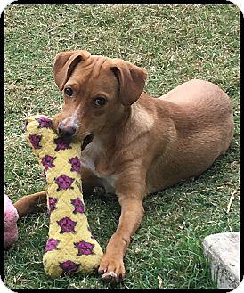 Terrier (Unknown Type, Medium)/Labrador Retriever Mix Dog for adoption in Austin, Texas - Joey