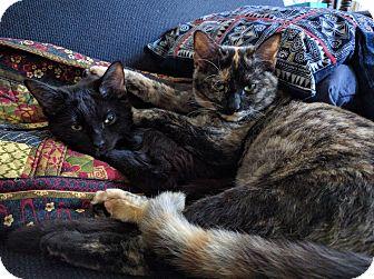 Domestic Shorthair Kitten for adoption in Chicago, Illinois - Kiki Jerome and Jax
