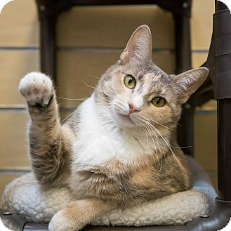 Domestic Shorthair Cat for adoption in Houston, Texas - Brittany