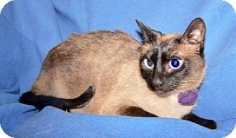 Siamese Cat for adoption in Colorado Springs, Colorado - Lula
