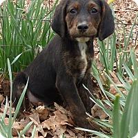 Adopt A Pet :: Gyro - Bedminster, NJ