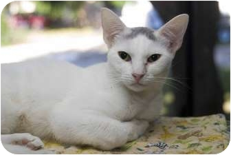 Domestic Shorthair Cat for adoption in New Port Richey, Florida - Sherry