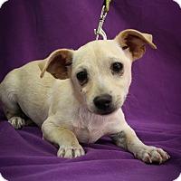 Adopt A Pet :: Hektor - Broomfield, CO