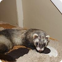Adopt A Pet :: Maggie - Chantilly, VA
